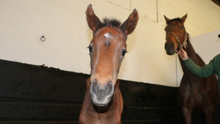 Quevega's Walk In The Park filly who was born at the Irish National Stud on Tuesday