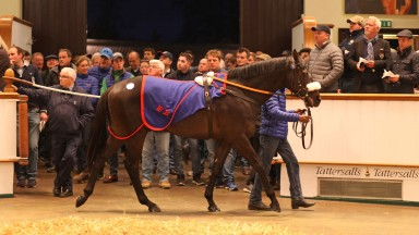 Lot 71: the Scat Daddy colt bought by Charlie Gordon-Watson for 800,000gns in the Park Paddocks ring