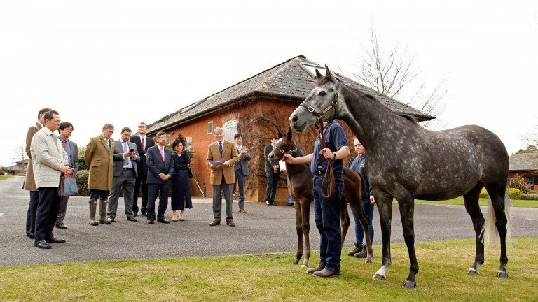 Hadaatha and her Frankel colt pose for the Japanese Ambassador and his colleagues at Shadwell Stud