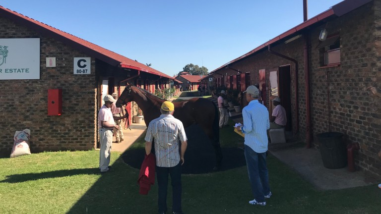 A yearling being inspected at the Bloodstock South Africa sales complex