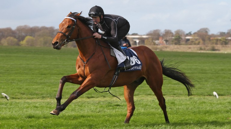 A two-year-old is put through its paces during the Tattersalls Craven Sale