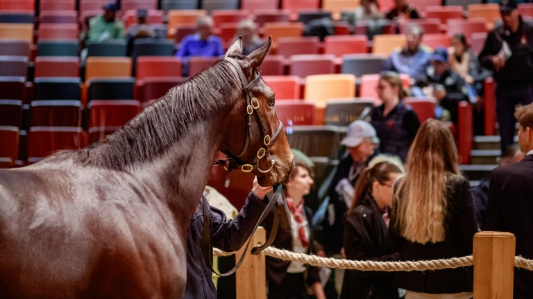 The More Than Ready colt bought by Matt Coleman looks out into the Arqana auditorium
