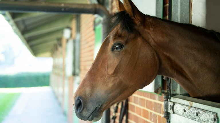 Perfectly relaxed: Perfect Clarity in her box after her Epsom workout