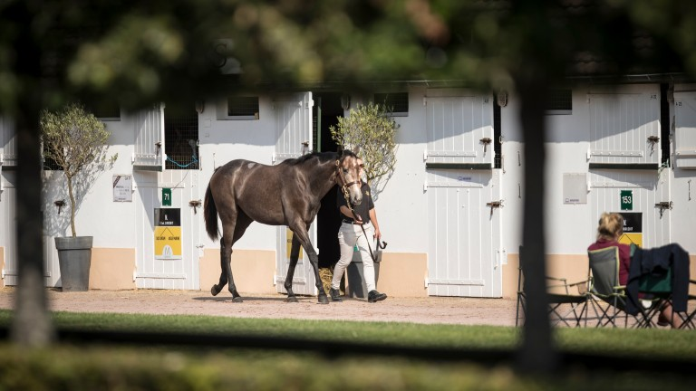 Yearling inspections at the Arqana sales complex