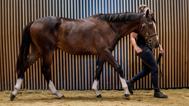 The striking son of Intello who went the way of David Menuisier