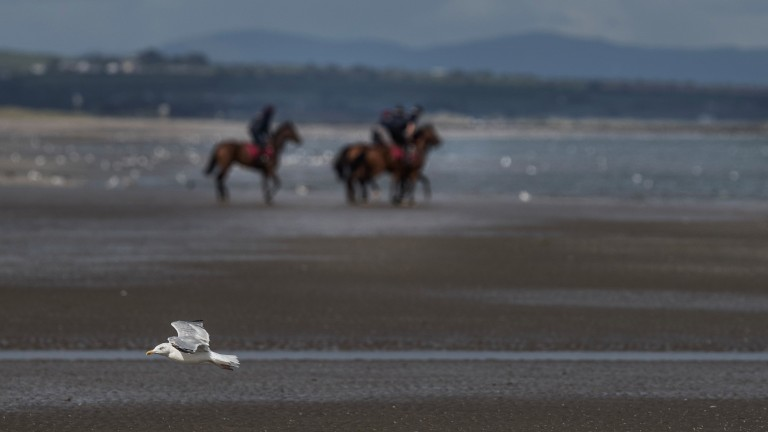 Flying low: a seagull takes flight as horses go for a dip in the sea