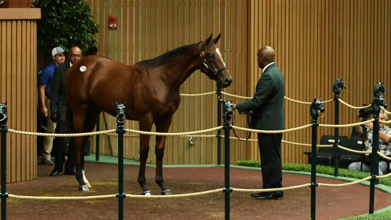 Hip 729: the American Pharoah colt purchased by Larry Best's OXO Equine for $1.4 million