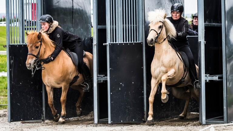Glodis Run Sigurdardottir on Blikka fra Thoroddsstodum (left) and Edda Run Ragnarsdottir on Runa fra Flugumyri leave the stalls in the 150m pace race