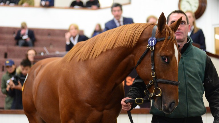 Lot 11: the Night Of Thunder colt in the Tattersalls Ireland ring before fetching €180,000