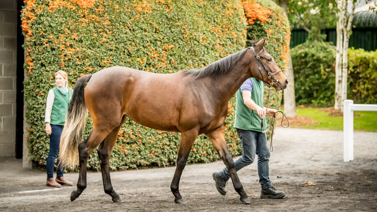 The Galileo ex Green Room filly strutting her stuff at Goffs