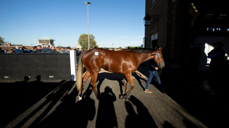 Ten Sovereigns' sister heads into the Park Paddocks ring