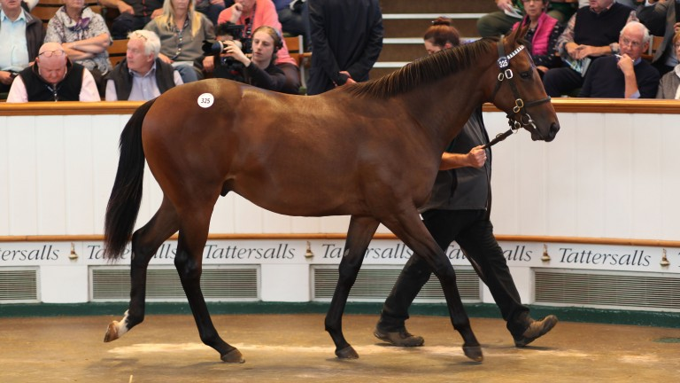 The sale-topping Dubawi colt in the Tattersalls ring