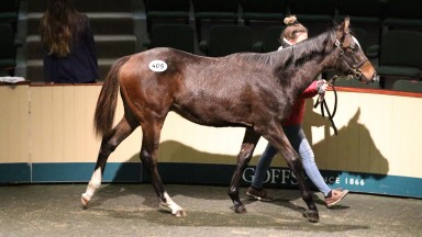 The session-topping Showcasing colt makes his way around the Goffs ring