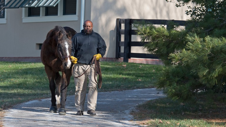 A.P. Indy is led between his paddock and his stable at Lane's End