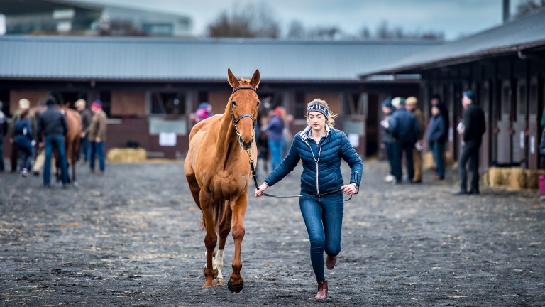 A young horse is trotted at last year's Goffs UK January Sale