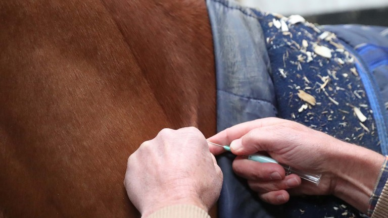 A horse at Iain Jardine's yard is injected with the vaccine as a precaution