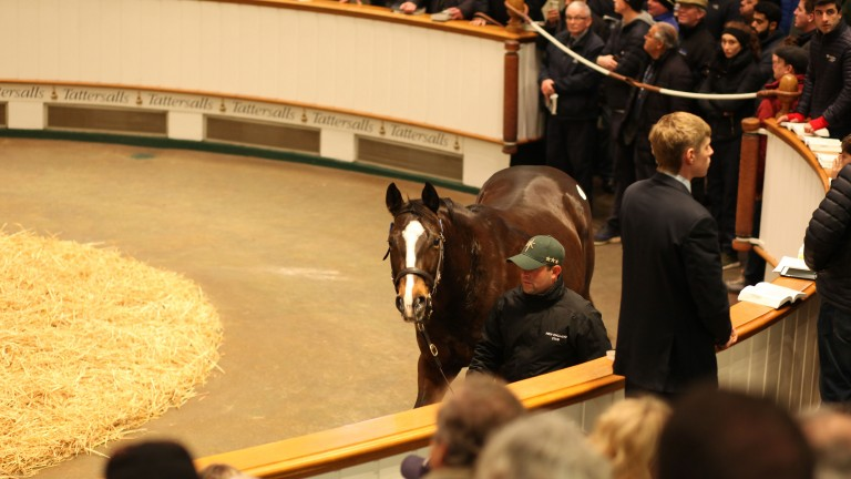 Pearling, the dam of Decorated Knight, in the Tattersalls ring before being signed for by Blue Diamond Stud UK at 2,400,000gns