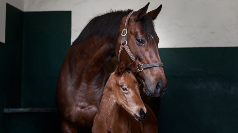 Zarkava with her Dubawi filly foaled last year