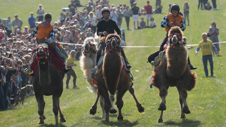 A fight to the finish in the camel race