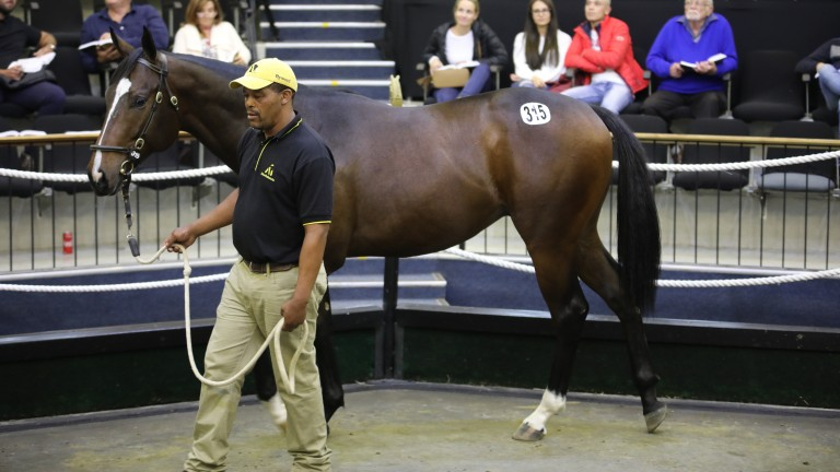 A yearling takes its turn through the ring