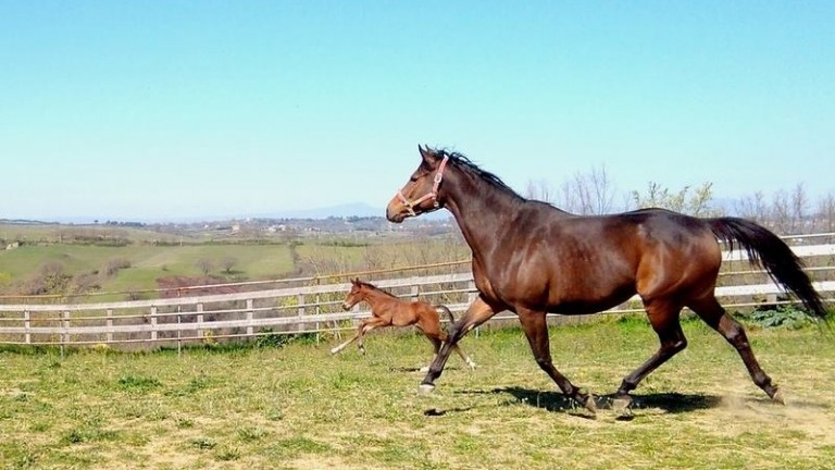 Dark Dragon and her Buratino filly frolic in the sun at Maison du Monde Farm in Italy