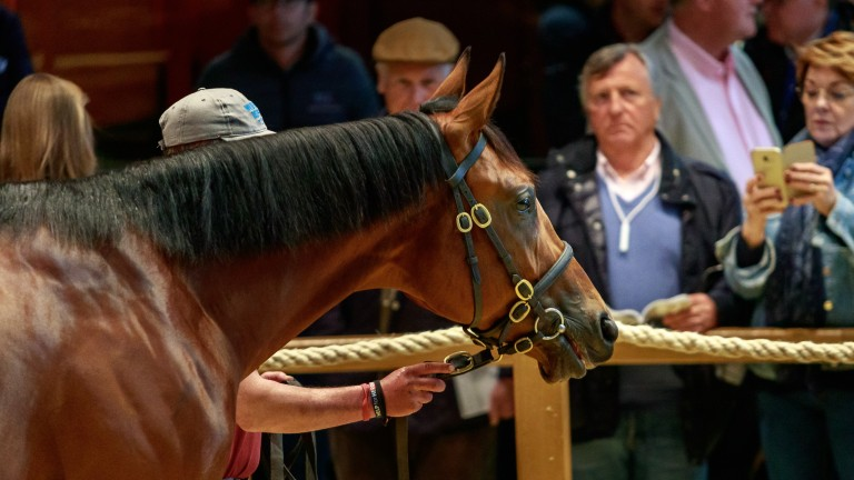 The American Pharoah colt takes in his surroundings in the Arqana ring