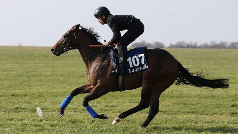 Micky Cleere puts Majestic Sands through his paces at the Tattersalls Craven Sale