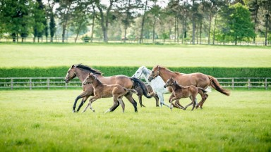Mares and foals frolic in the Shadwell paddocks