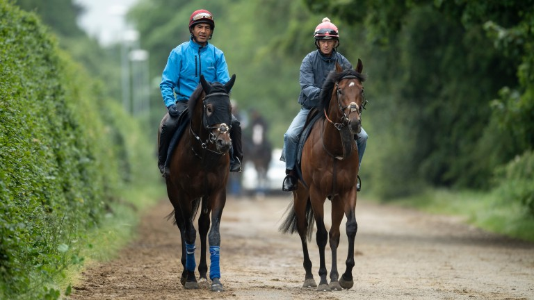 John Gosden's King Of Comedy (R) walks to the Al Bahathri gallops with a stable companion