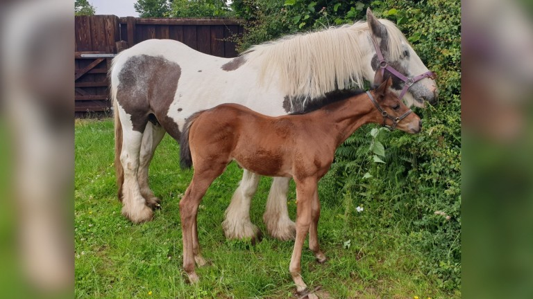 Airlie Beach's filly foal nibbling at a hedge with 'Mother' at home in Chepstow
