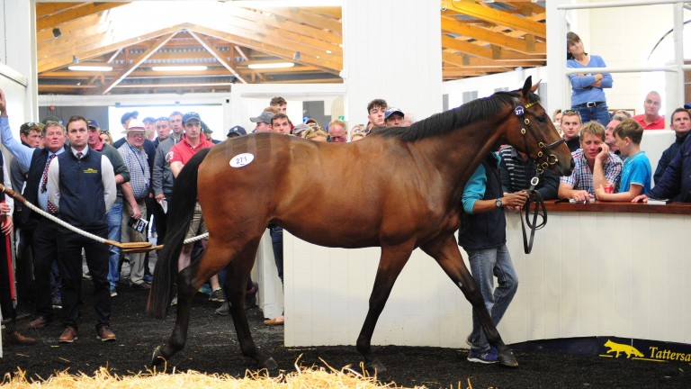 Lot 271: the sale-topping son of Martaline in the Fairyhouse ring before being knocked down to Ronnie O'Leary
