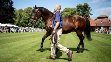 Dubawi parades for the crowd at Darley's Dalham Hall Stud