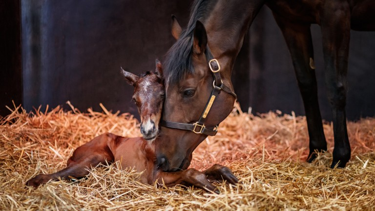 Treve with her Shalaa filly foal in 2018