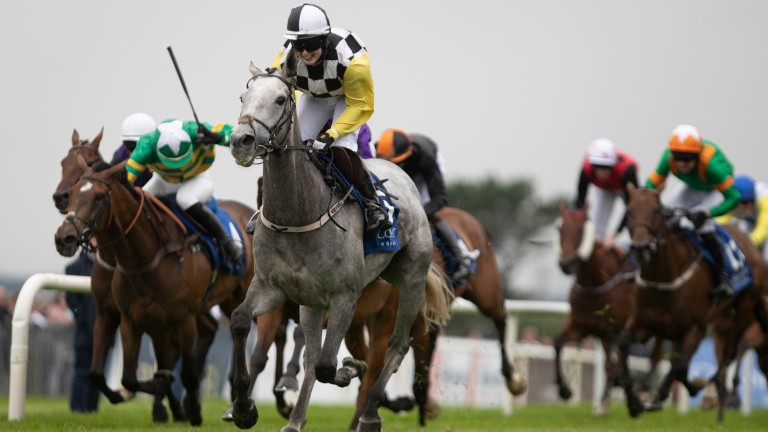 Great White Shark: returns to the scene of her greatest triumph at Galway on Monday