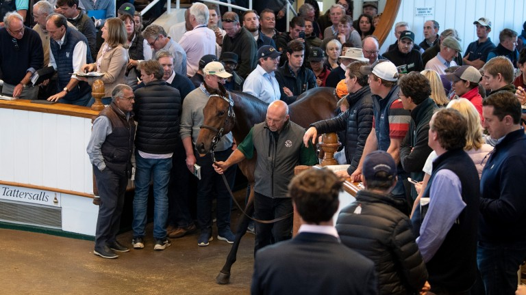 Darain: the 3,500,000gns son of Dubawi is led into the packed Tattersalls ring