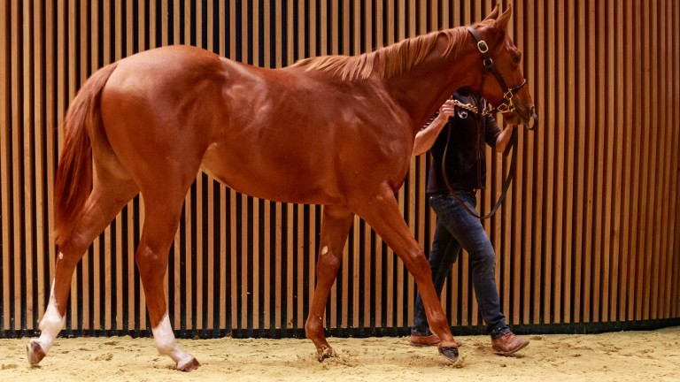 The €300,000 top lot at Arqana on Wednesday, a colt by Showcasing