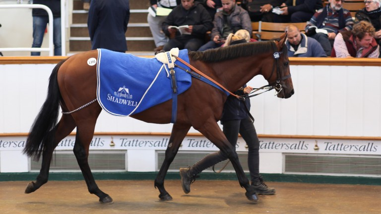 Daysaq: the two-year-old son of Invincible Spirit takes his turn in the Tattersalls ring before fetching 40,000gns