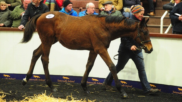 The Flemensfirth colt out of Morning Supreme takes his turn in the ring