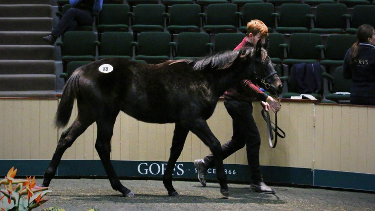 Lot 88: the session-topping son of Caravaggio in the Goffs ring