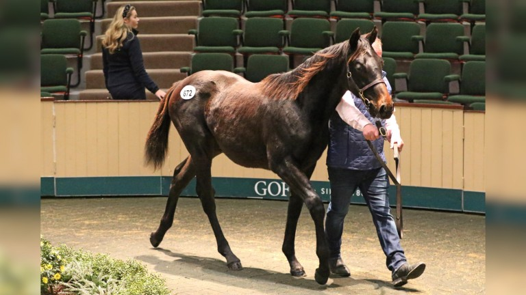 Lot 672: the No Nay Never colt bred and sold by Siobhan and Padraig O'Rahilly