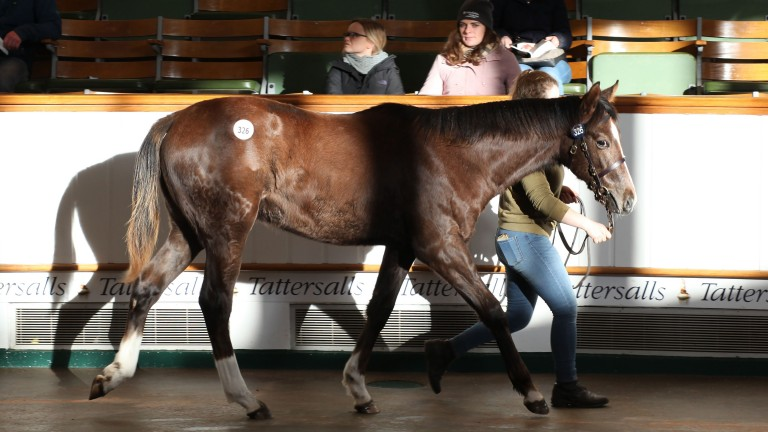 Lot 326: the 65,000gns El Kabeir colt in the ring at Tattersalls