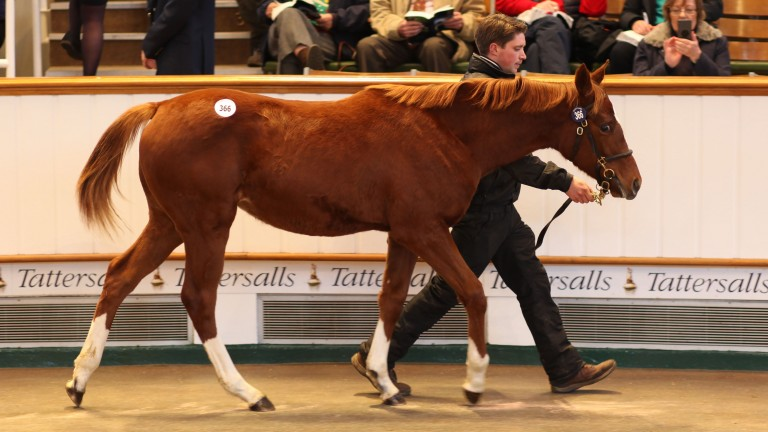 Lot 366: the Night of Thunder filly bought by Jamie Railton Sales Agency for 65,000gns