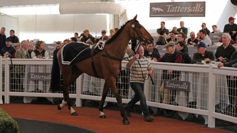 Wide Receiver taking it all in at the Tattersalls Cheltenham February Sale