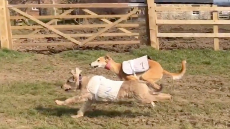 Close call: Chip (2) holds off Saluki (1) in the Green Oaks Dog Derby