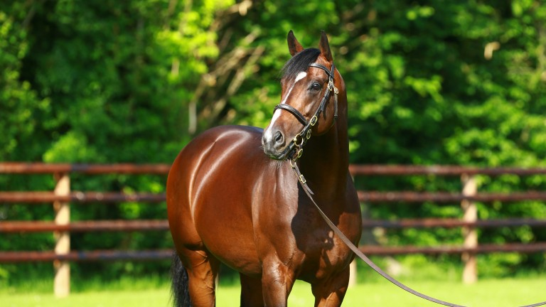 Shalaa: Haras de Bouquetot's exciting first-season sire is off the mark at stud