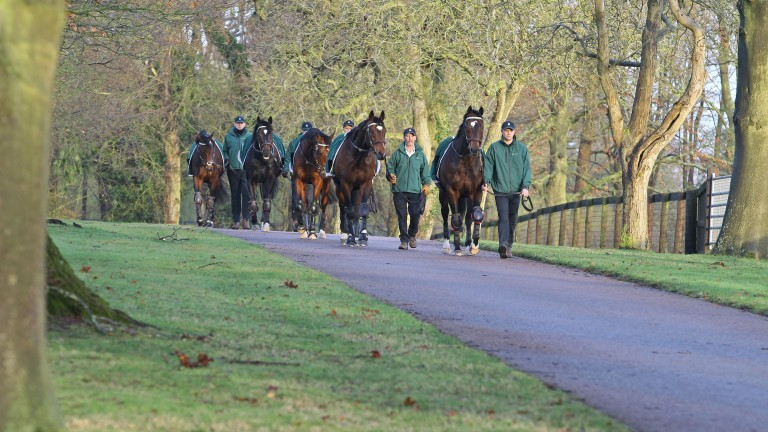 The Juddmonte stallions on their daily exercise at Banstead Manor Stud
