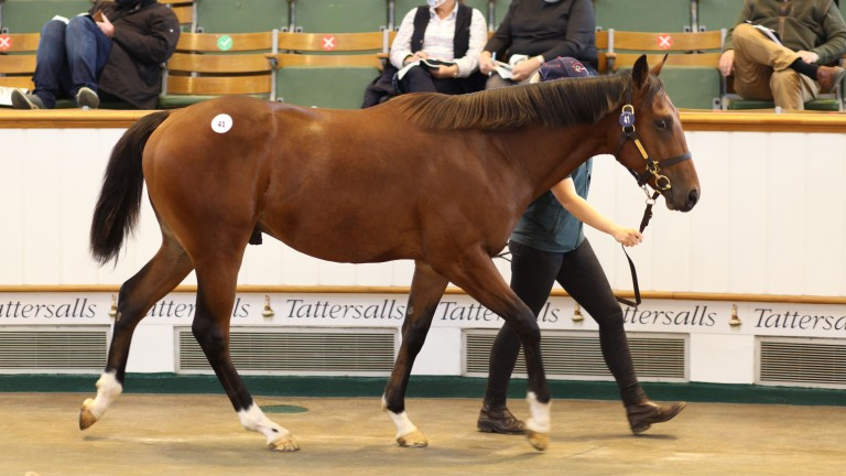 Lot 41: the Frankel colt out of Attraction in the spotlight at Tattersalls
