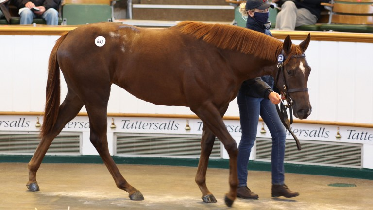 Lot 853: the Ribchester filly out of Hint of Pink sells to White Birch Farm and Demi O'Byrne for 300,000gns