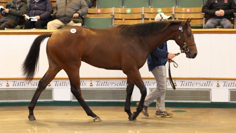 Lot 840: the Showcasing colt out of Harlequin Twist in the Park Paddocks ring