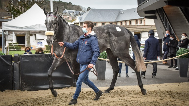 Grey day: Houx Gris will be trained by Paul Nicholls after sharing top price at Arqana at €200,000
